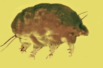 cochon moule mold pig acarien tardigrade