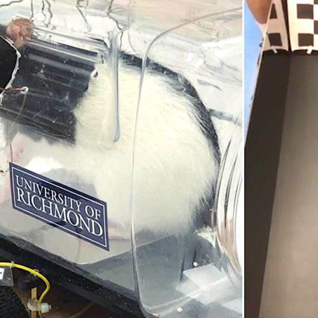 rats conduisent voitures electriques experience