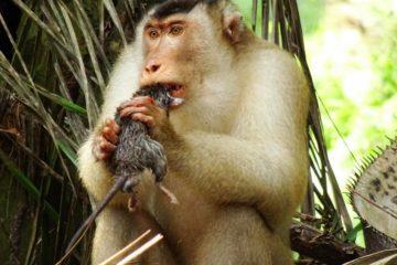 singe macaque rat vermine plantation huile palme palmier