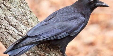 corbeaux guimauve