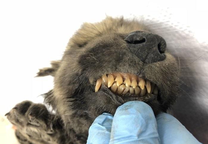 dents dogor