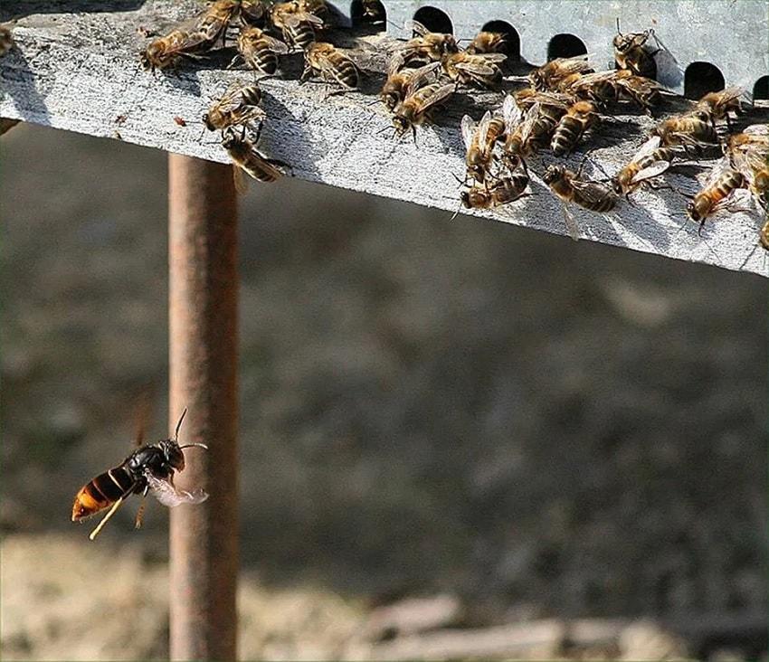 frelon abeilles