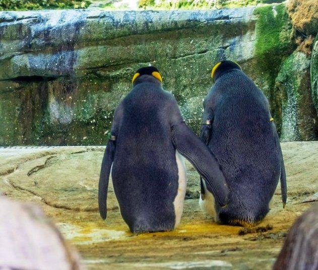pinguins homosexuels vol oeuf