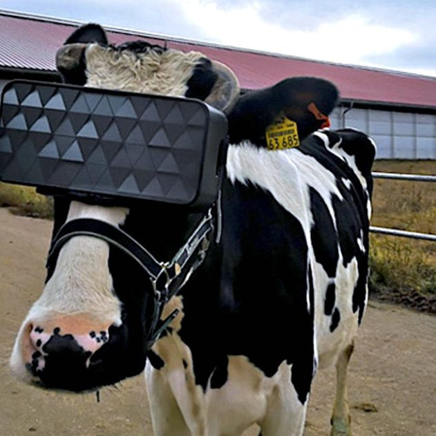 vaches casque vr production meilleur lait