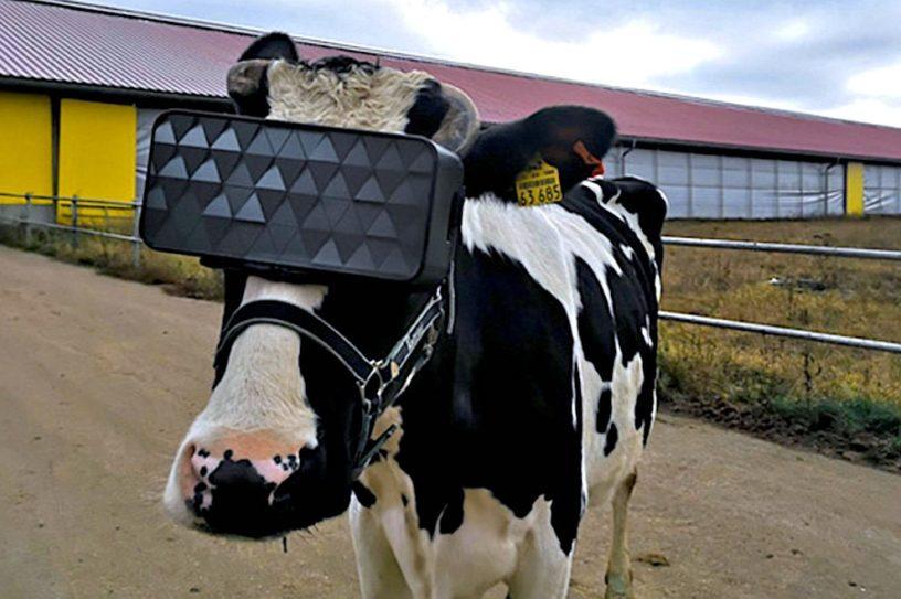 vaches casque vr production meilleur lait
