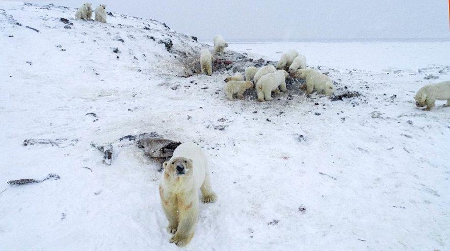 56 ours polaires rassemblement village russie ryrkaipy decembre 2019