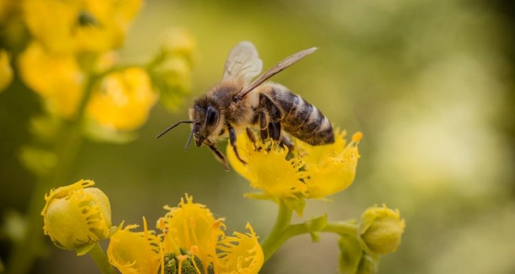 abeilles neonicotinoides