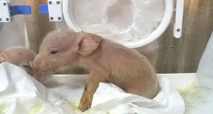 chimere porc singe