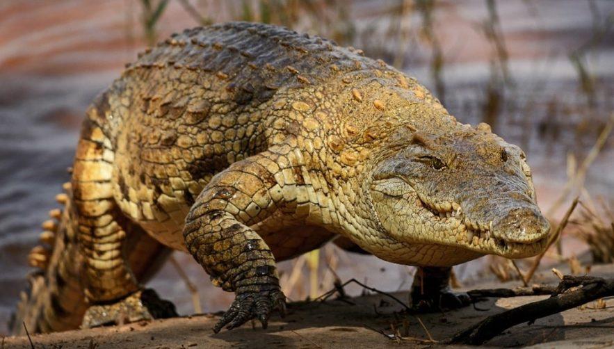 crocodiles galop