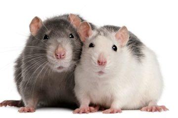 empathie rats