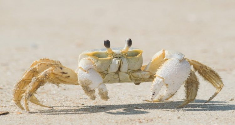 neurones crabe
