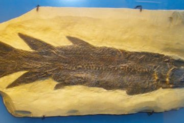 Eusthenopteron foordi fossile