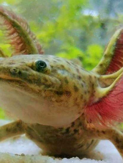 axolotl régénération membres