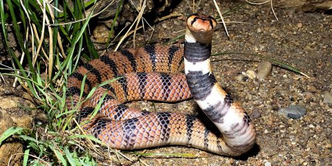 chercheurs creent venin serpent laboratoire serpent-corail cap