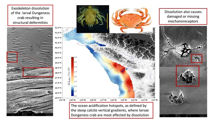 crabe coquille acidification ocean réchauffement climatique co2