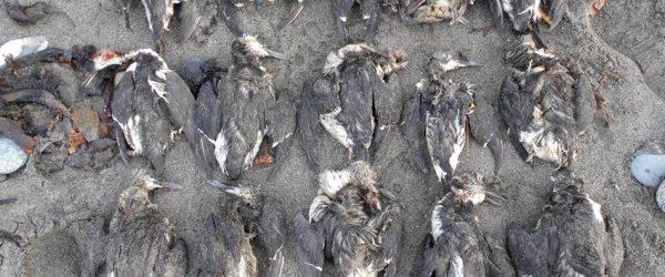 oiseau mort deces masse massif rechauffement changement climatique climat