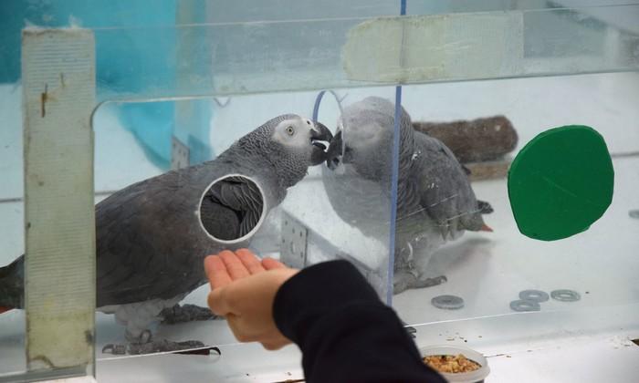 perroquet gris afrique intelligce