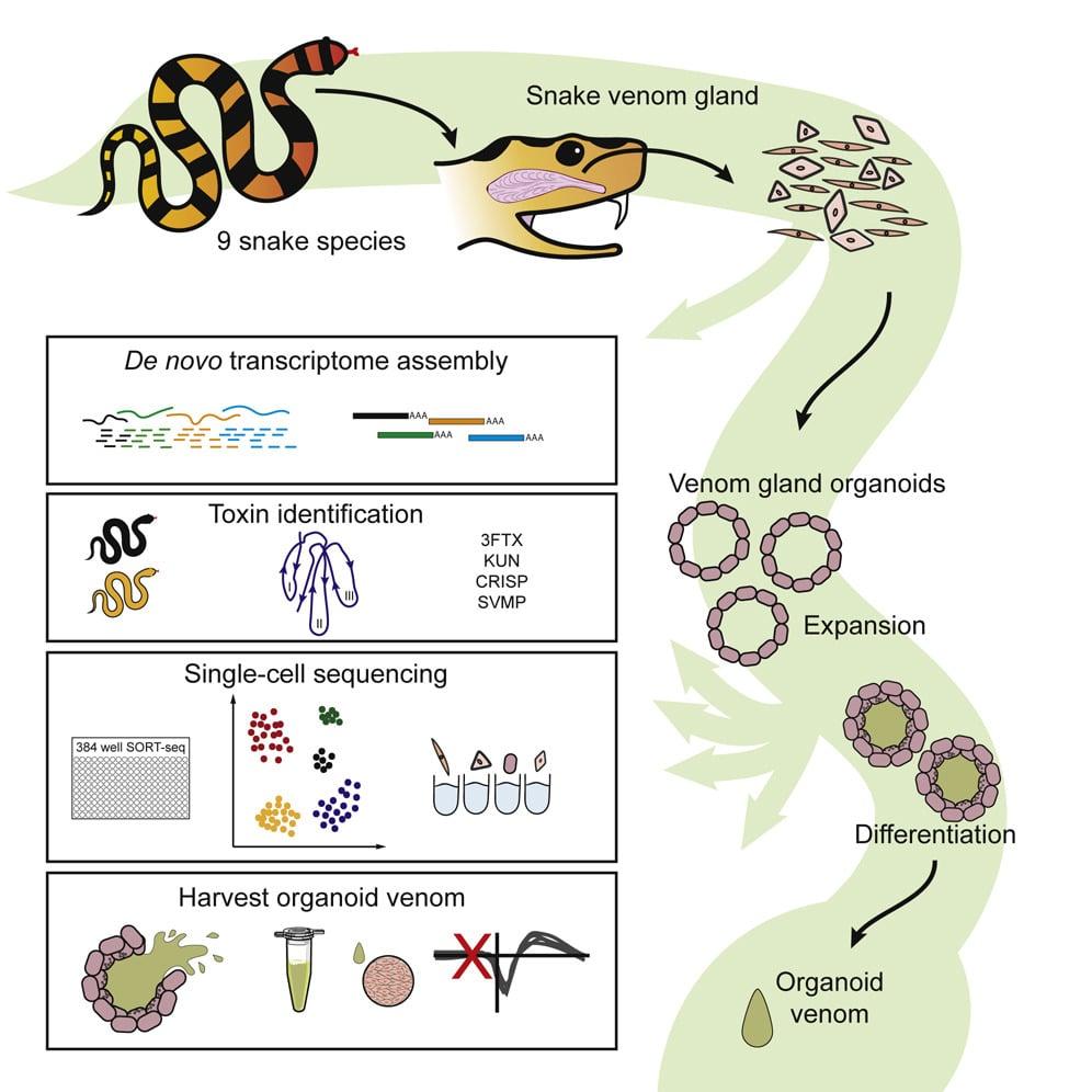 schema organoides glandes serpent production venin