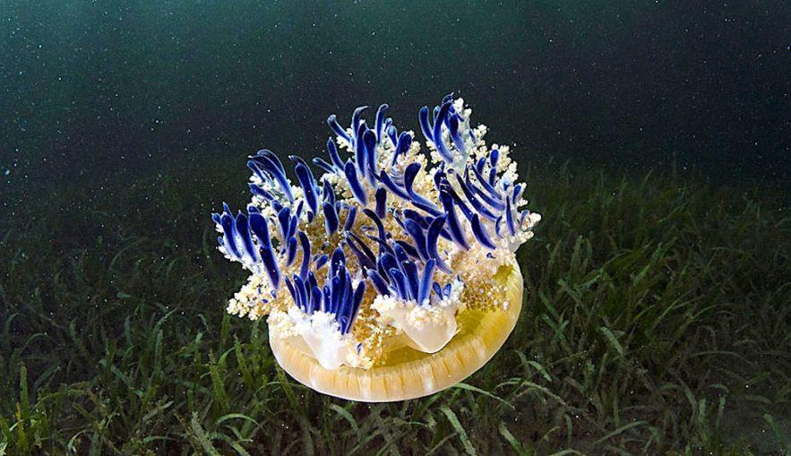 cassiopea andromeda xamachana lance mucus urticant