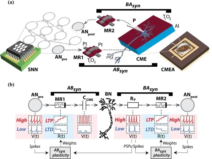 circuit neurones