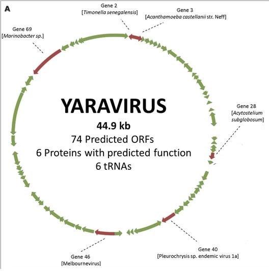 genome yaravirus