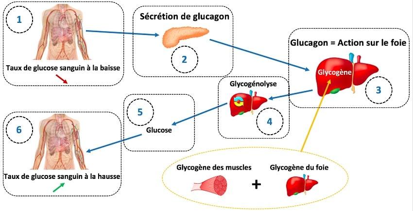 glycogene glucose