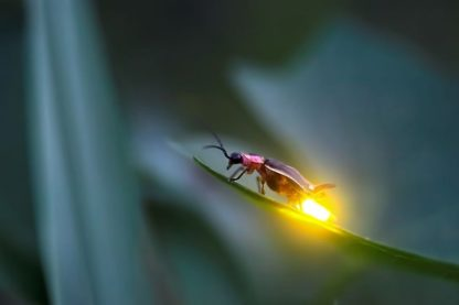 luciole disparition