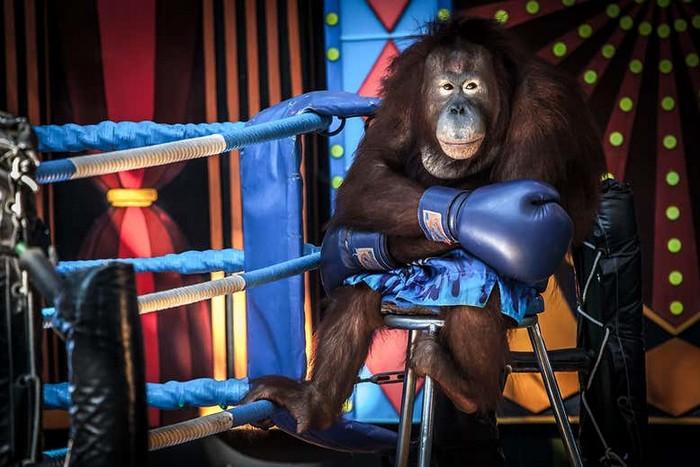 orang outan boxe exploitation