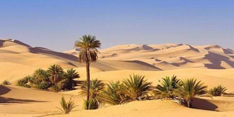 palmiers dattiers