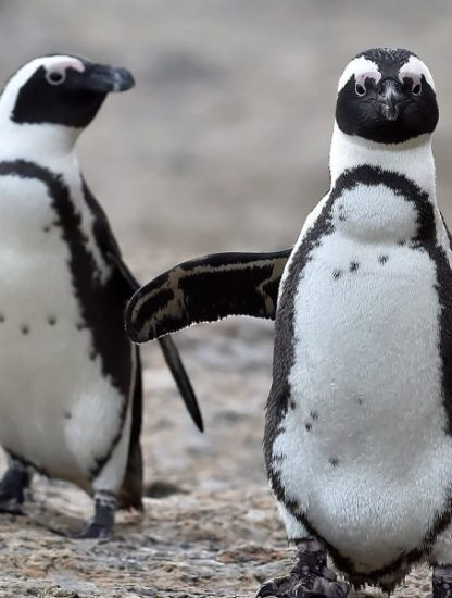 pingouins linguistique
