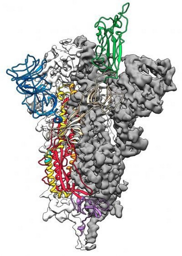 coronavirus proteine pointe