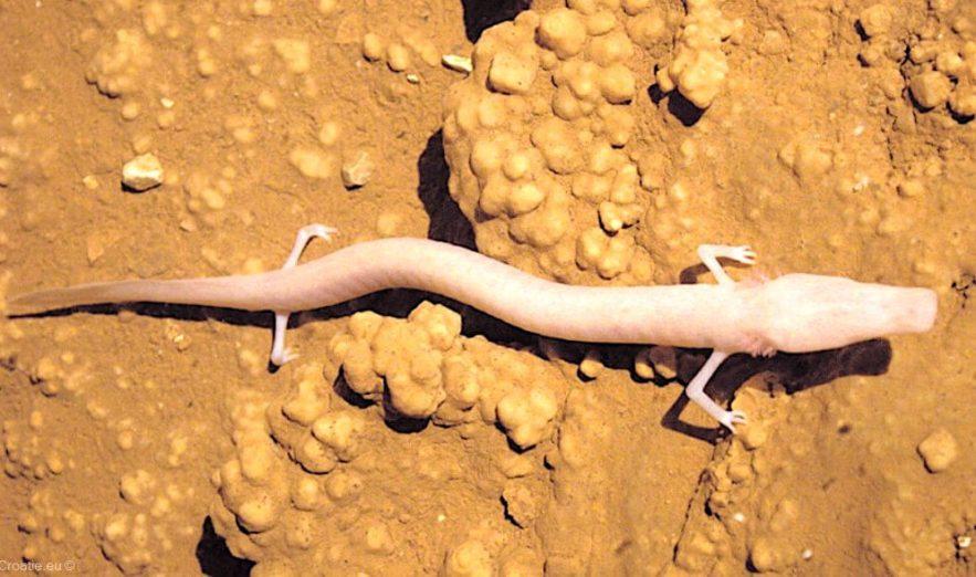 proteus anguinus salamandre paresseuse decouverte specimen immobile 7 ans