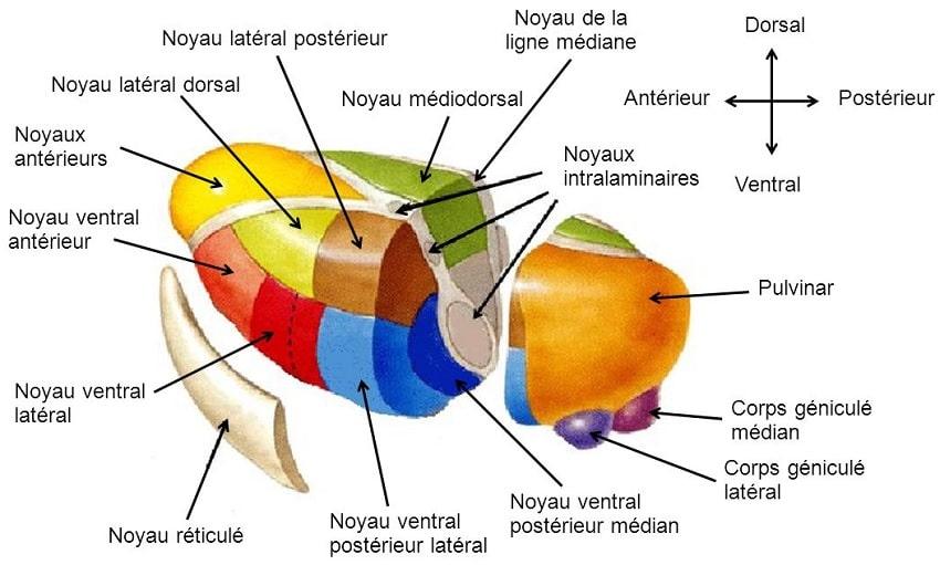structure thalamus