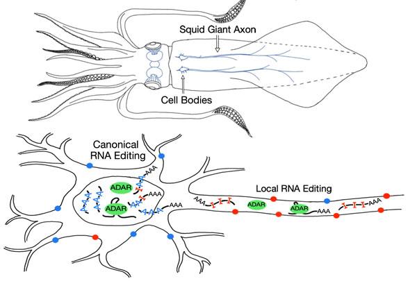anatomie calmar schéma neuronal
