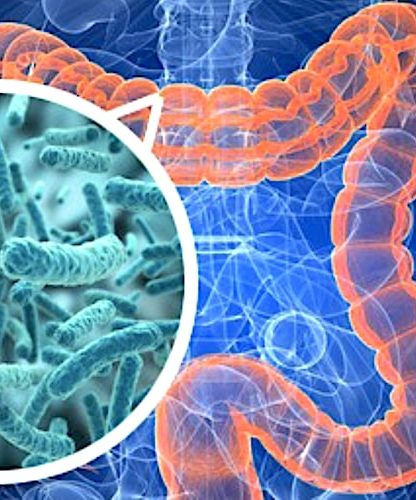 bacteries intestinales retrouvees organes personnes obeses