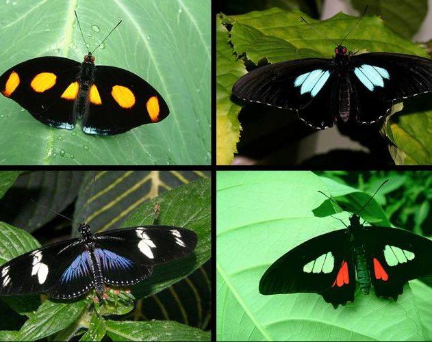 espèces papillons ailes noir absolu