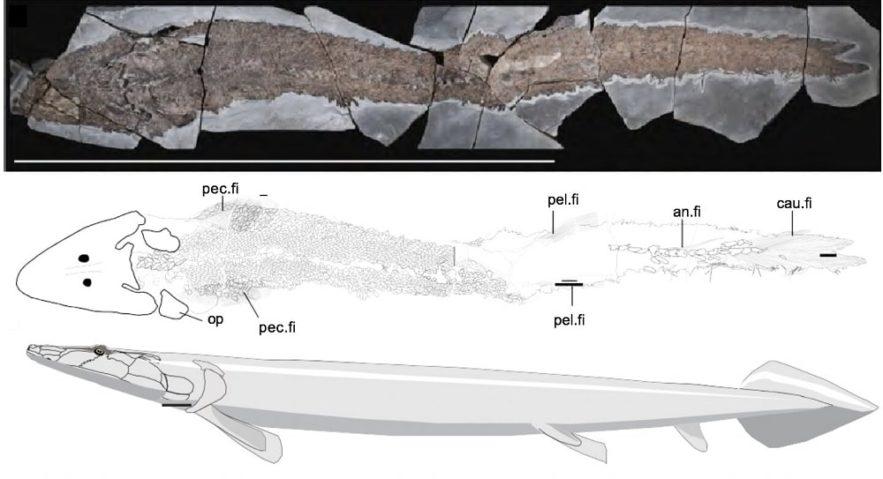 fossile elpistostege