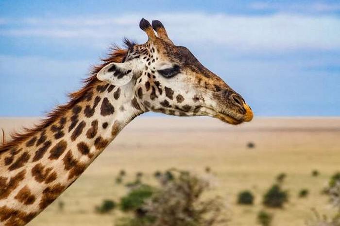 girafe sous espece
