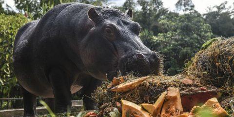 hippopotame colombie pablo escobar