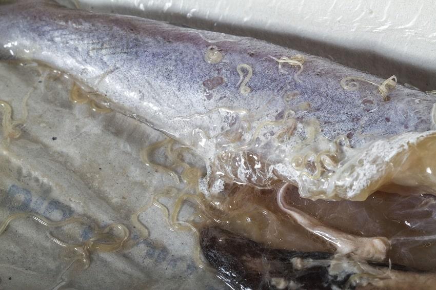 parasite merlan