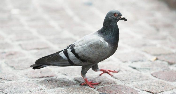 pigeon tete