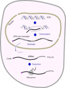 schéma synthèse ARNm