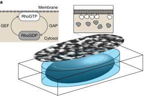 action Rho-GTP membrane cellule
