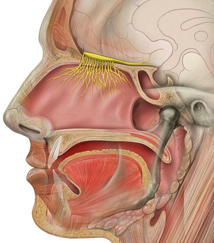 schema nerf olfactif anosmie covid19