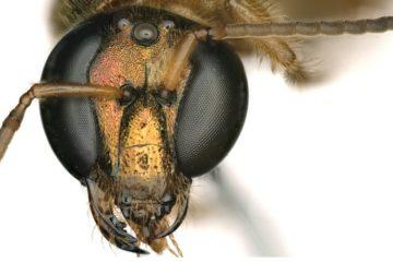 abeille gynandromorphe