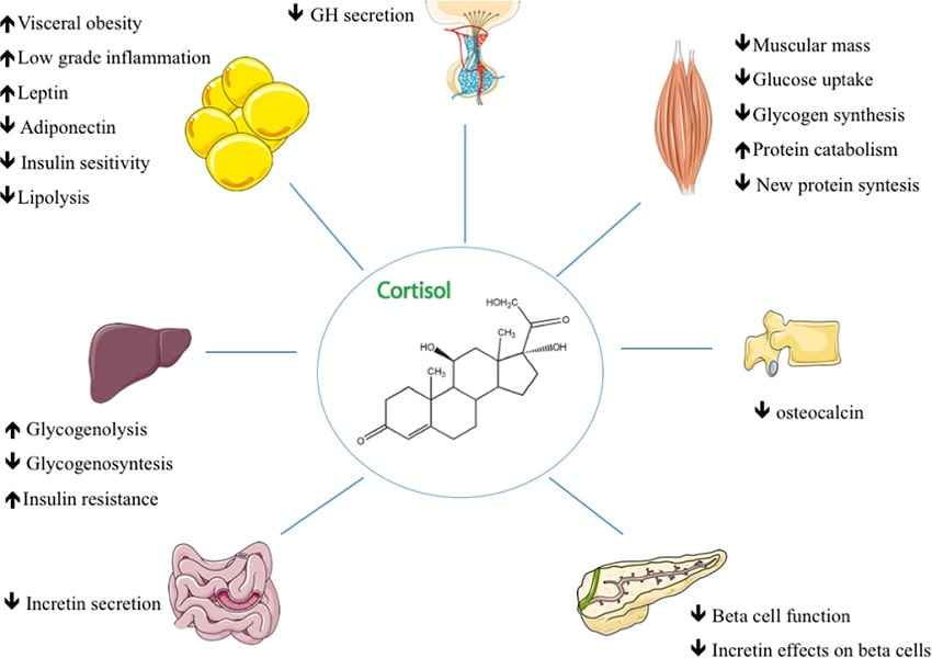 action cortisol