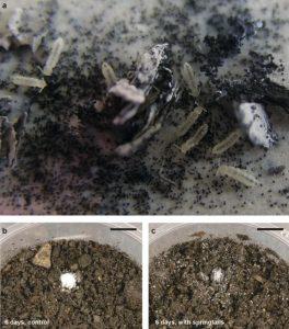 expérience élevage bactéries collemboles odeur pluie