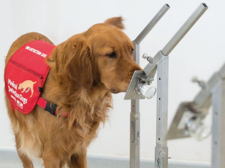 chien detection maladie coronavirus