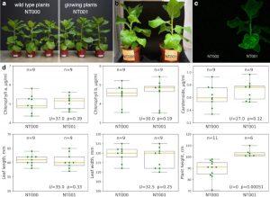 bioluminescence tabac gènes champignon acide caféique luciférine