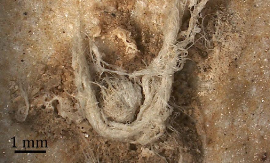 corde neandertal